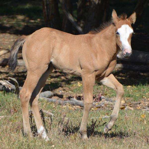 Buckskin Paint Foals For Sale
