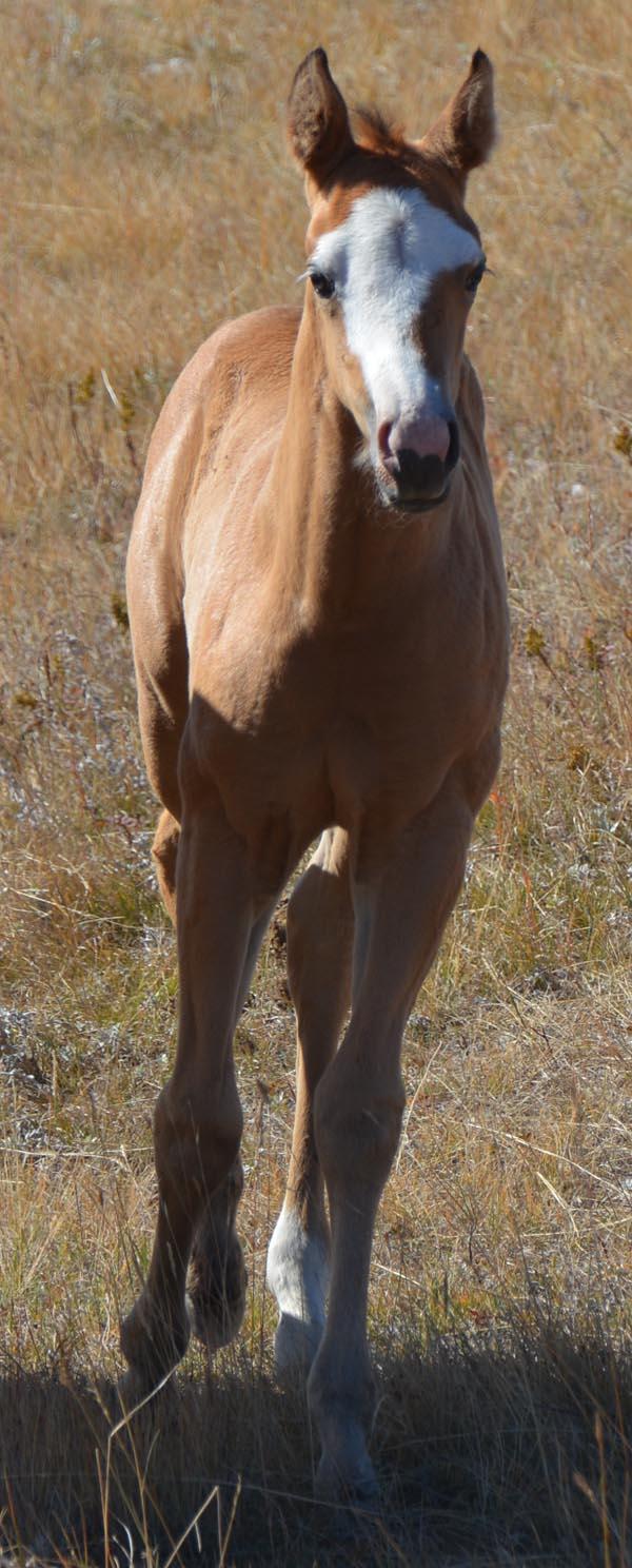 Buckskin Paint Horses For Sale In Ca