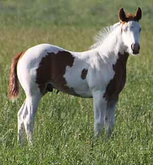 APHA Stallion, Mr Parteebuilt, ranch broke