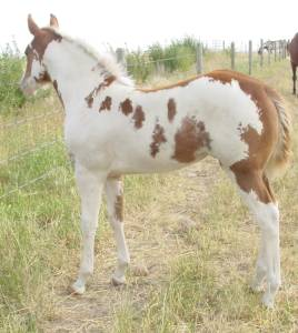 Pictures of Paint horses for sale. Sorrel Overo Filly, Paint filly for sale, 2005 paint foals