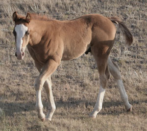 Pictures of Paint horses for sale. Chestnut stallion, Paint stud colt, 2005 paint foals