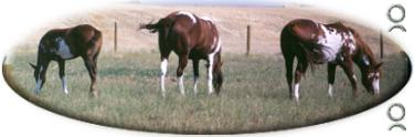 ranch broke geldings for sale, stock horses, cow horses, horses, ranch horses, APHA Paint horses, APHA cutting horses, APHA ranch horses, APHA rope horses, in ca, performance horses, apha colts, colts, paint colts, fillies, apha fillies, paint fillies, breeding stock, overo foals,2006, 2005, 2003 foals, 2004 foals, overo filly, horse production sale, performance horses, horse auctions, paint breeders, apha breeder, horse pictures, mr robin boy, robin boy, painted robin, riding horses, trail horse, tobiano, overo, tovero, pictures, horse, paint, Horse Classifieds Ads, horse sales, horse for sale, APHA, Paint Horses for Sale, paints for sale, foundation bloodlines, horse ads, horse directory, horse classifieds, horse breed, horse breeds, aqha, stallion, stud, studs, Saskatchewan, Sk, Sask, Canada, Canadian, western canada, horse auction, horse production sales, paint horse production sale, apha production sale, paint production sales, horse sale catalogues, south country production sale, south country horse breeders sale, south country horse sale, Paint horses, horse sale, horse auctions, horses for sale, AQHA horses for sale, APHA horses for sale, foals, horses, breeding, stallions, mares, gelding