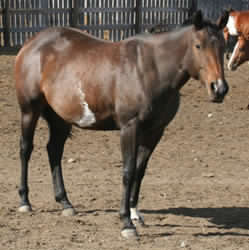 bay overo mare for sale grey