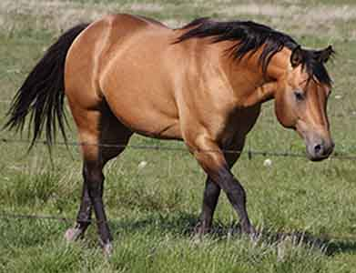 AQHA Stallion, Page Mr Star Bucks