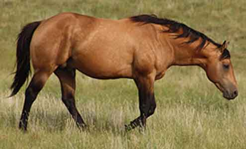 AQHA Buckskin Stallion, Page Mr Star Bucks