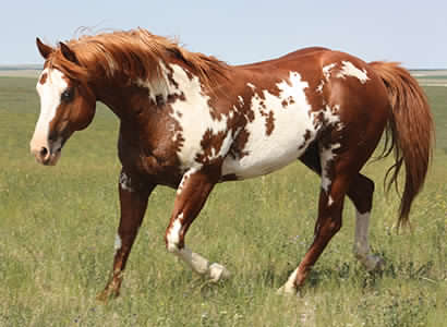Mr Parteebuilt, APHA Paint overo stallion