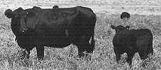 commercial angus cows