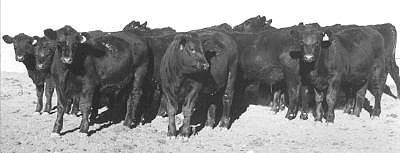 The  black angus feeder steer group offered for sale.