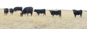 cow calf pairs on summer range