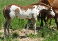 2004 sorrel overo filly for sale