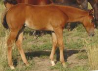 bay filly for sale