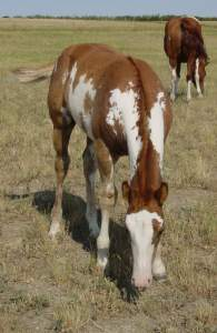 Sorrel Overo Filly