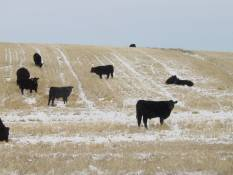 fall grazing on stubble