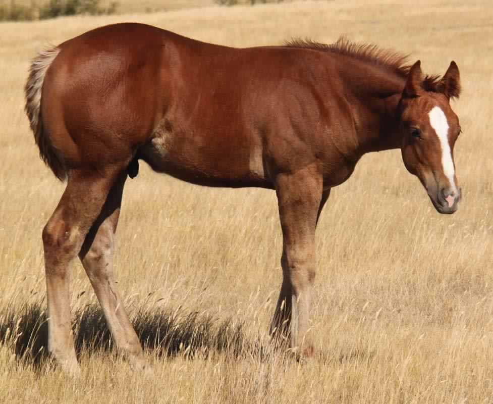 2012 Paint Foals  Stallions And Fillies