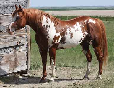 Apha Stallion Mr Parteebuilt Delorme South Shadow